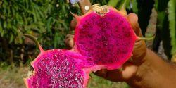 Uberaba passa a contar com banco de germoplasma de pitaya